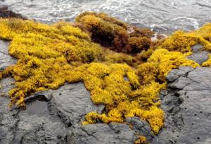 wawaloli seaweeds