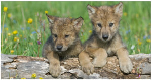 Arctic grey wolf cubs