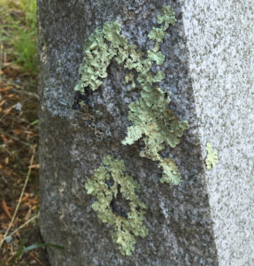 green crustose lichens on tombstone